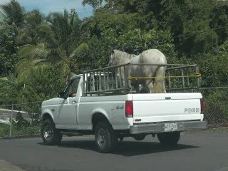 horse truck - 30 (Crazy) Things You Will See Driving in Puerto Rico
