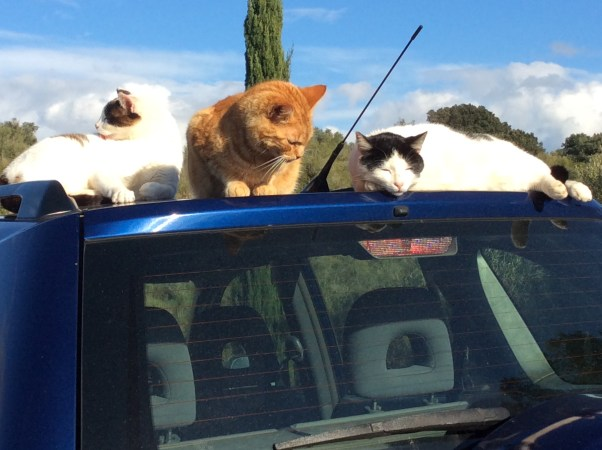 Three of our feline family taking advantage of the car's sun-warmed roof
