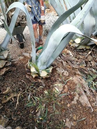 Agaves in a rural Mallorca garden