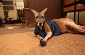Kangaroo as a Pet