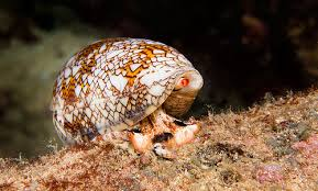 The venom of the cone snail are known as conotoxins and contain various neurotoxic agents.