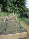 Next to the cucumber trellis is another bean trellis. This is a tee-pee trellis made with six plastic covered metal stakes (reuseable and neat!) as well as bamboo stakes and twine.