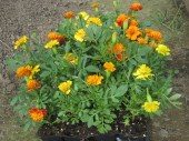 more marigolds for the final bed (and last 5, rather sad looking at this point, tomato plants)