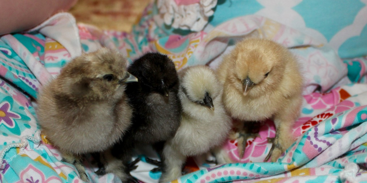 The Joy of Silkie Chicks