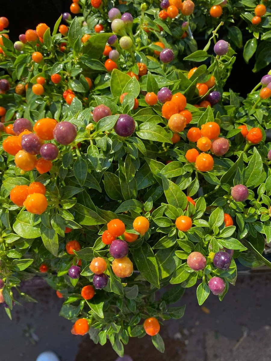 Orange and yellow Berrys on a green plant at my local nursery