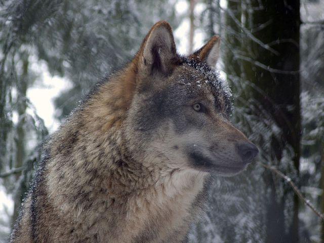Celtic Werewolf