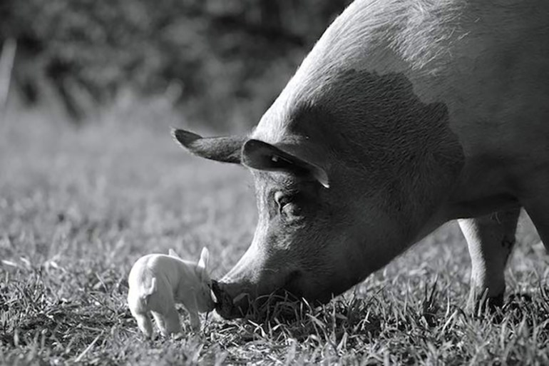 Joaquin Phoenix is executive producing 'Gunda', a farm animal documentary | News | LIVING LIFE FEARLESS