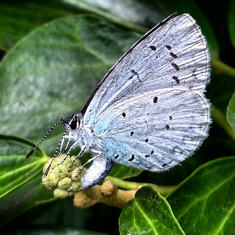 Living Life Our Way, 30 Days Wild, The Wildlife Trusts, Holly Blue, butterfly, Save Butterfly World, conservation, charity, wildlife, nature, kids need nature, photography, environment, #30DaysWild, #LivingLifeWild, campaign, outdoors, get outside, Woodland Trust, Nature Detectives