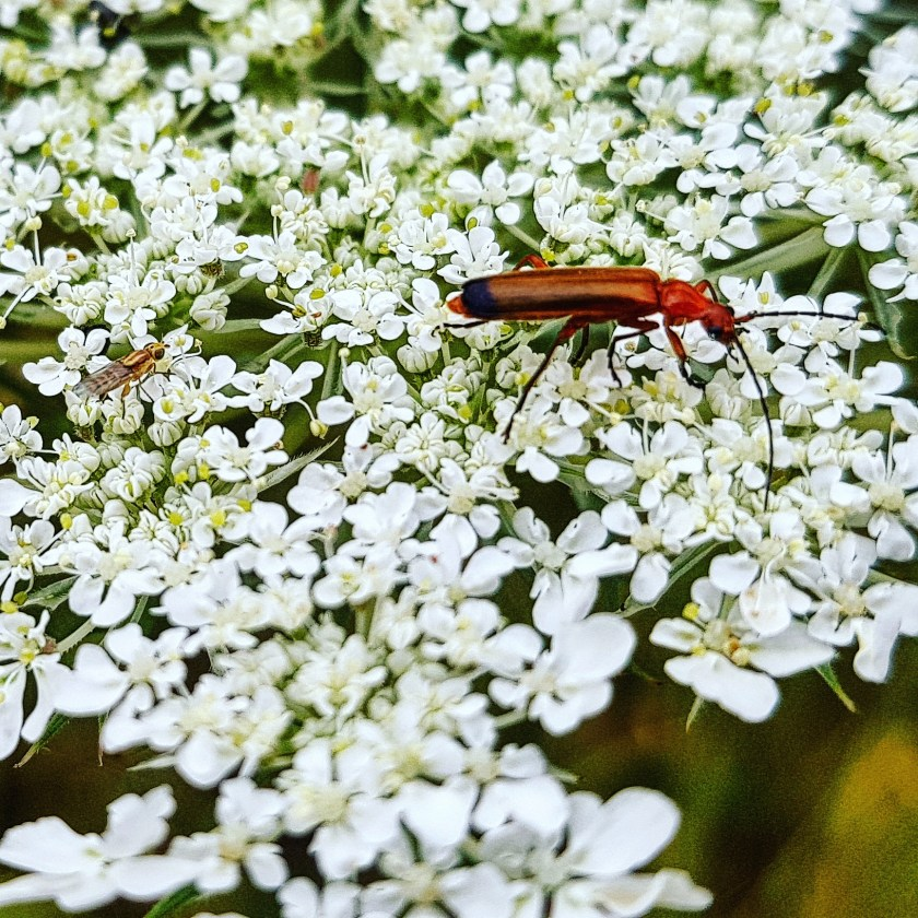 30 Days Wild, soldier beetle, insect, wildlife, nature, nature walk, nature photography, Hertfordshire, childhood unplugged, get outside, kids need nature, outdoors, #30dayswild, #staywild, #livinglifewild