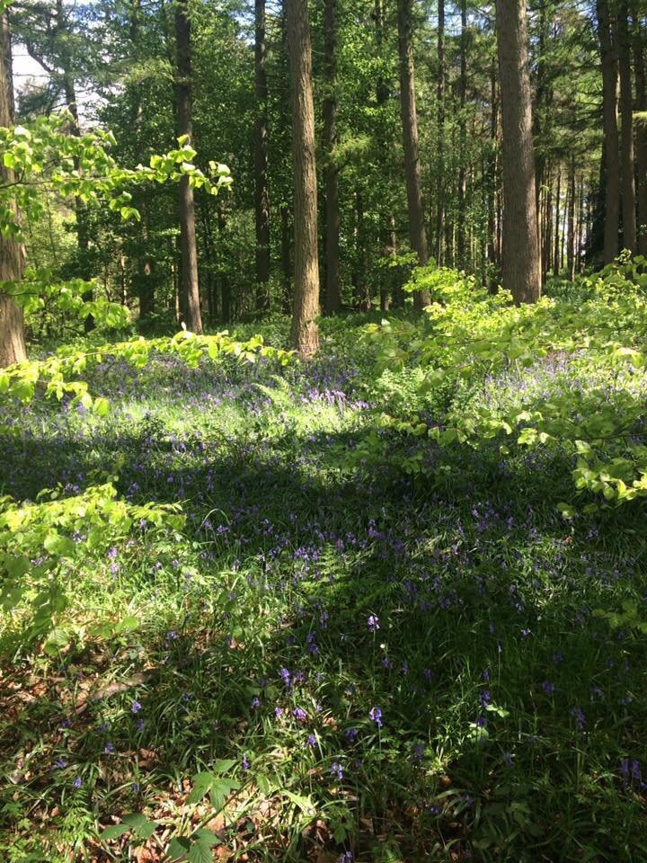 A photo of the bluebells in the woodland at Swinsty reservoir