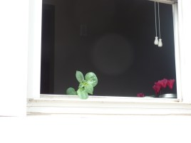 When I opened the window, the potato sprout plopped it's chin on the window sill and soaked up the rays.
