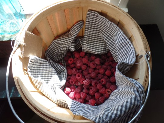 I've since harvested two yeilds of this size. Many of these berries are chilling the freezer, awaiting the jam they will become in canning season.