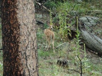 A fawn at Custer State Park.