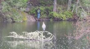 Blue Heron @ Thetis Lake