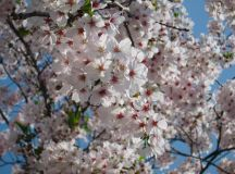 Cherry blossom in Korea 2018 forecast — The best time ...