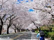 Seoul cherry blossom — Top 9 best places to see cherry ...