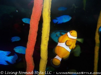 Clown Fish2
