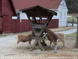Nanny Goats at Goat Barn