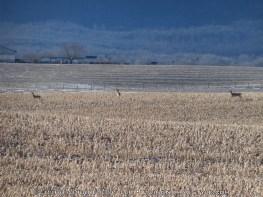 Deer - Shenandoah River