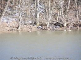 Geese - Shenandoah River