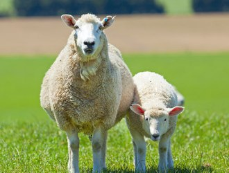 How Do GMOs Affect Animals