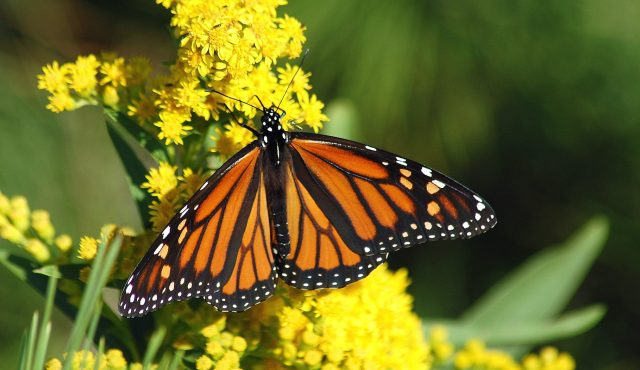 Monarch Butterfly Non-GMO Project Precautionary Principle