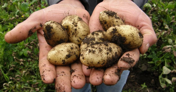 Potatoes in hands still dirty from being harvested