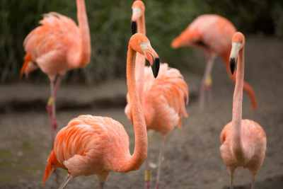 zoo-miami-american-flamingo