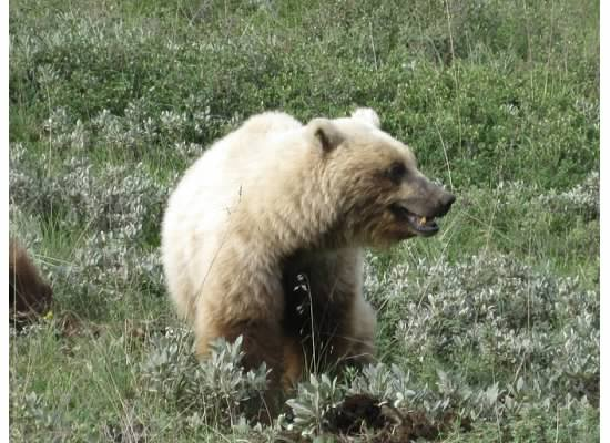 Grizzly Bear vs. Black Bear Encounters
