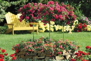 Best Way To Grow Roses In Your Garden