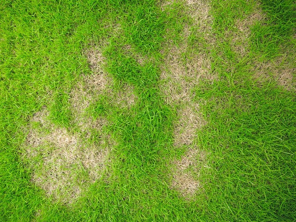 can i over fertilise my lawn