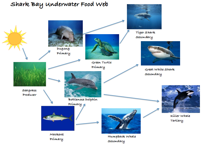 great white shark food chain diagram 1997 f150 wiring sharks 25 images 2996242 orig blacktip