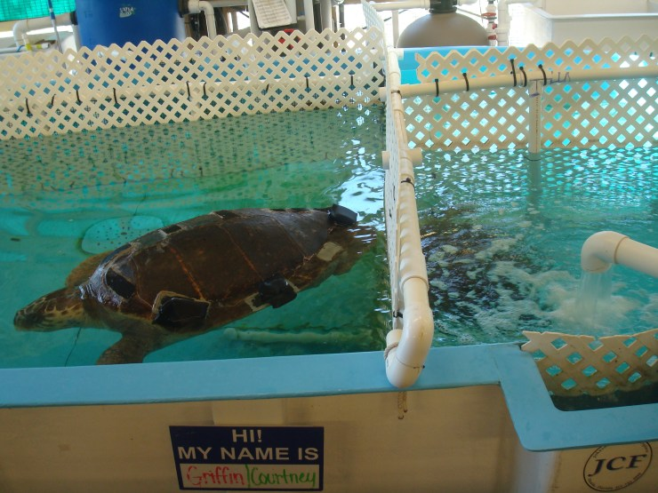 georgia sea turtle center
