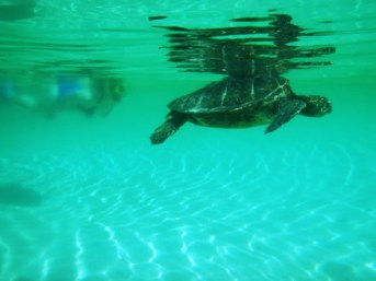green sea turtle snorkel