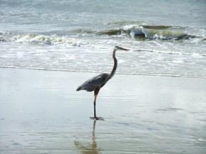 HHI blue heron