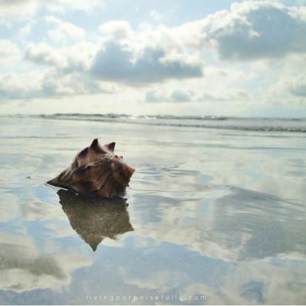 whelk on HHI beach