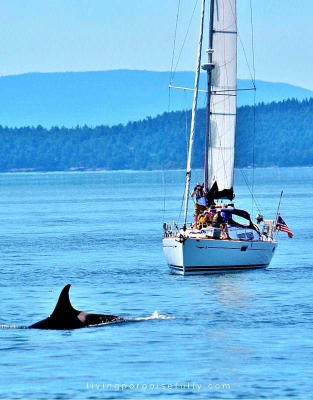 orca in front of sailboat