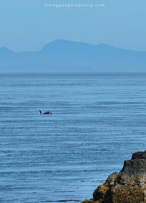 orca near coast