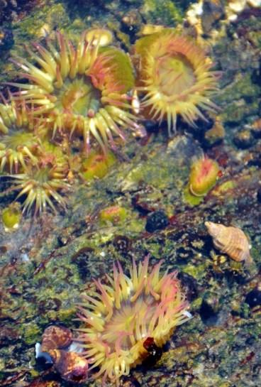 tide pool sea anemones