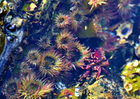 tidepool anemones and crab