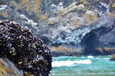 california-mussels