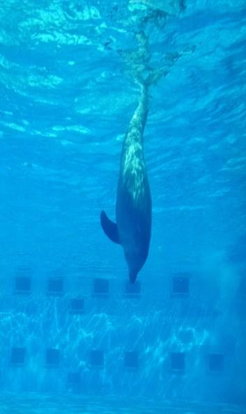 gulfarium-dolphins-5-474x800