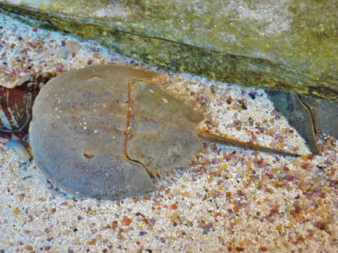 horseshoe-crab-800x600