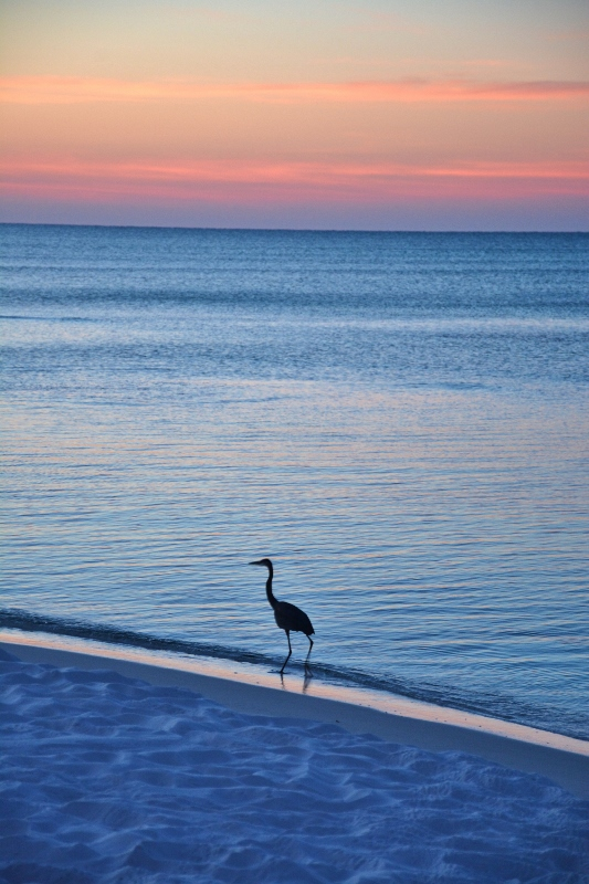 great-blue-heron-sunrise