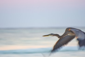 heron-in-flight