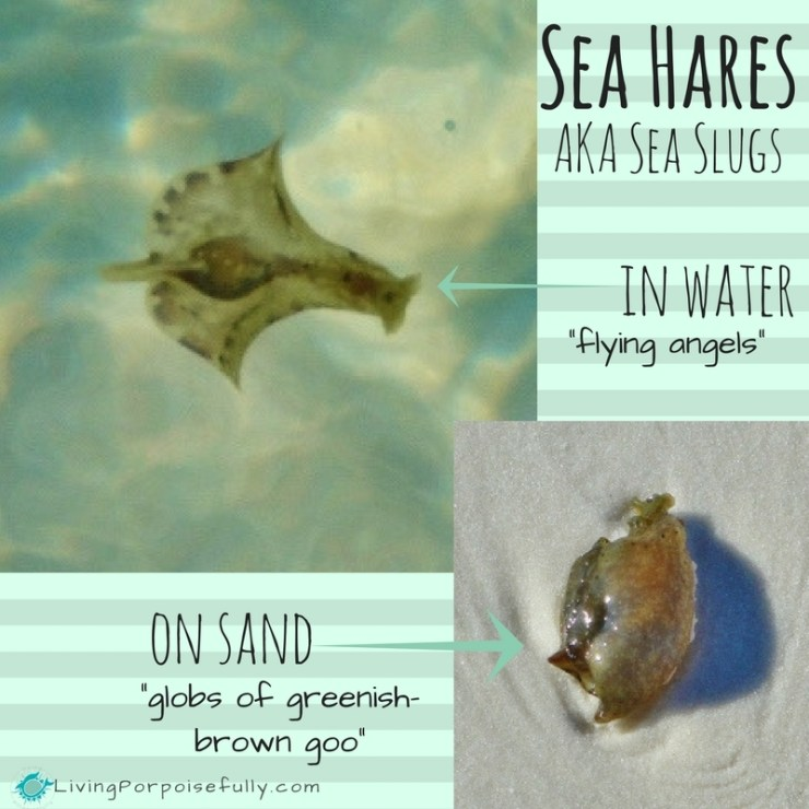 sea-hares-slugs-in-water-vs-on-sand-1