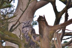 great horned owl - point reyes (4)