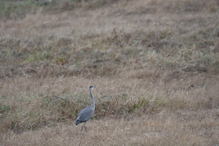 heron - point reyes (800x533)