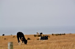 point reyes cows