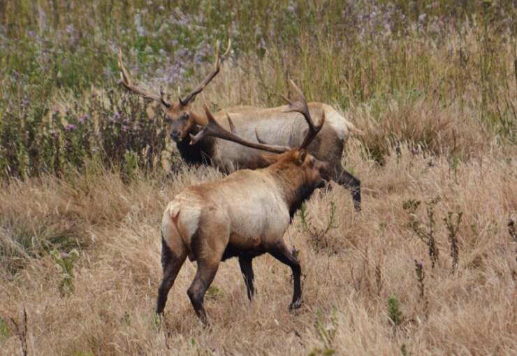 tule elk - point reyes 3
